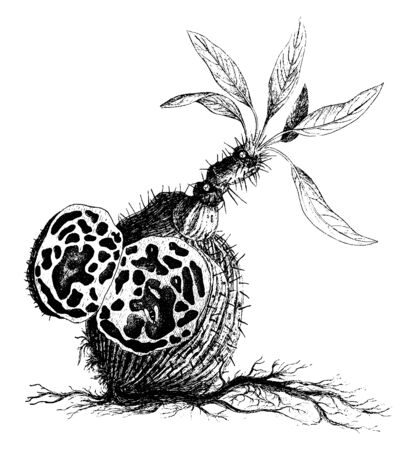 A picture is showing an epiphytic ant plant also known as Myrmecodia pentasperma of the Bismarck Archipelago, vintage line drawing or engraving illustration.