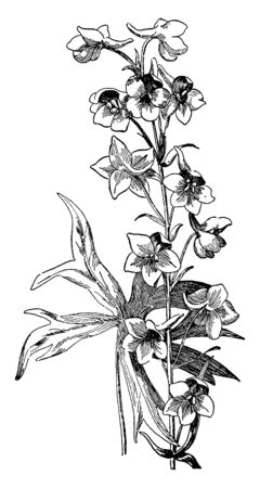 Larkspur belongs to the buttercup family. Larkspur flowers are almost as complex as the Orchids, vintage line drawing or engraving illustration. 向量圖像