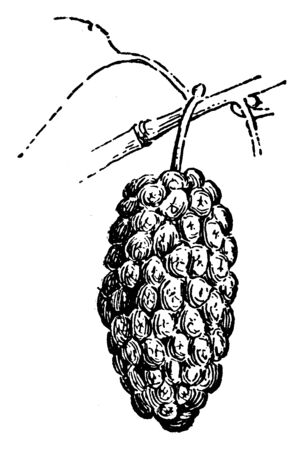 A picture showing Mulberry fruit. Mulberries are the sweet, hanging fruits from a genus of deciduous trees that grow in a variety of temperate areas around the world, vintage line drawing or engraving illustration.