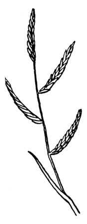 This is showing of rush salt grass and seed growing from stem, vintage line drawing or engraving illustration.