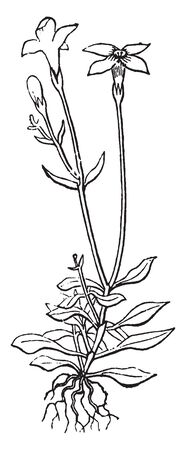 The Bluet plant leaves are arranged in alternate them growing in below. Flowers have four petals they are very small, vintage line drawing or engraving illustration. Illustration