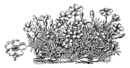It look densely plant and leaves are narrow, flowers are grow on single stalks and flower usually small size. Stems and leaves are very sticky, flower have five petals, vintage line drawing or engraving illustration. Иллюстрация