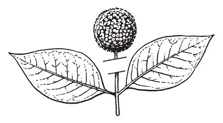 The both leaves are opposites. A simple fruit develops from ovary and many ovaries form aggregate fruit, vintage line drawing or engraving illustration.