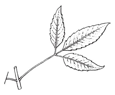 The leaf of Bidens is divided into three parts, two leaves arrange in opposite. The individual leaves like ovate shaped, vintage line drawing or engraving illustration.