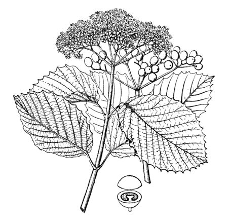 Viburnum is a genus of about 150-175 species of shrubs or (in a few species) small trees in the moschatel family. It is commonly found in the Northern Hemisphere bearing flower clusters, vintage line drawing or engraving illustration.