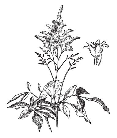 The flower grown on upper part of plant, three leaves attach to one single center and flower of anther in flower, vintage line drawing or engraving illustration. Ilustração