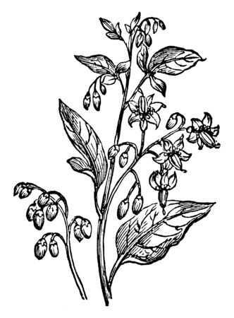 The leaves long arranged in alternate, often lobed. There are some flowers on the tree, some buds, vintage line drawing or engraving illustration.