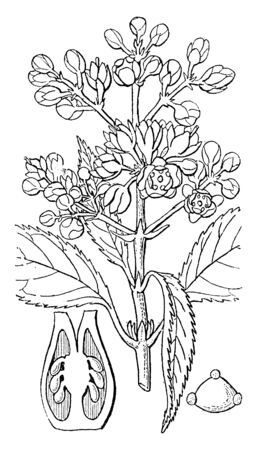 Plant of Ochranthe having imbricated sepals, hypogynous petals and stamens, partly disjoined carpels and serrated leaves. This greenhouse plant was once cultivated in the Garden of the London Horti, vintage line drawing or engraving illustration. Illusztráció