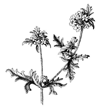 A picture of Verbena Canadensis flowers commonly known as Clump verbena, Rosa verbena, vintage line drawing or engraving illustration.