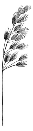 This pictures showing chess grass, stem is long and thin, branch attach on stem, Its height is two or three feet, leaves attach on branch, vintage line drawing or engraving illustration.