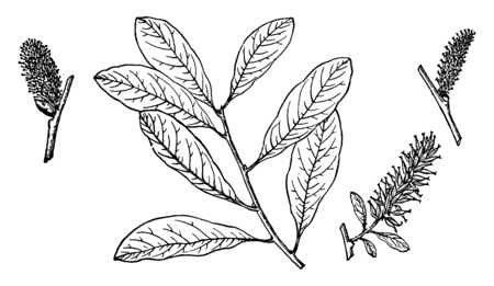 Picture of Salix Nuttalliis branch. It is a deciduous shrub, usually with multiple stems that reach 2 to 7 m in height in dry, cold, high elevations. The stems are straight and support few branches, vintage line drawing or engraving illustration.
