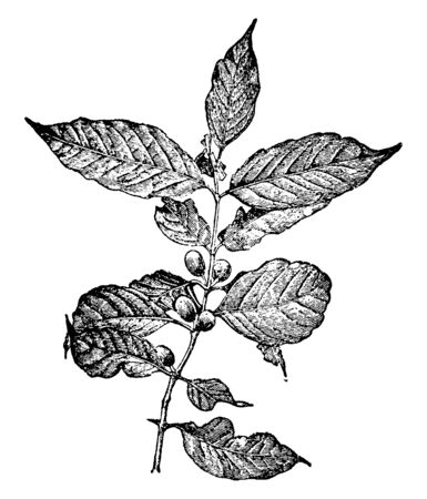 A genus of small trees and shrubs of the family Rubiaceae native to the tropical Old World (as Africa) has white fragrant flowers borne in clusters at the base of the shining evergreen leaves, vintage line drawing or engraving illustration.