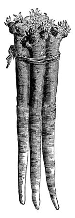 The image shows a Horseradish plant used as a condiment. The plant is native to southeastern Europe. It grows up to 1.5 meters tall, and is cultivated primarily for its large, white, tapered root, vintage line drawing or engraving illustration. Ilustração