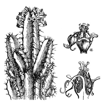 A picture shows Resin Spurge Plant. It is superficially resembles a cactus and a shows involucre with enclosed flowers, b shows section of same. It is low growing plant, vintage line drawing or engraving illustration.