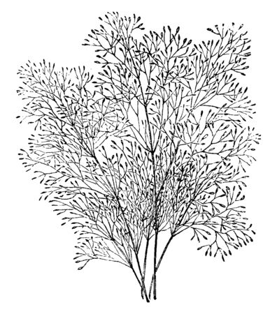 This is image of Agrostis Nebulosa Grass. It is very useful to fill in those difficult transitions in the garden & also known as cloud grass. It is mostly found in Portugal & Spain, vintage line drawing or engraving illustration.