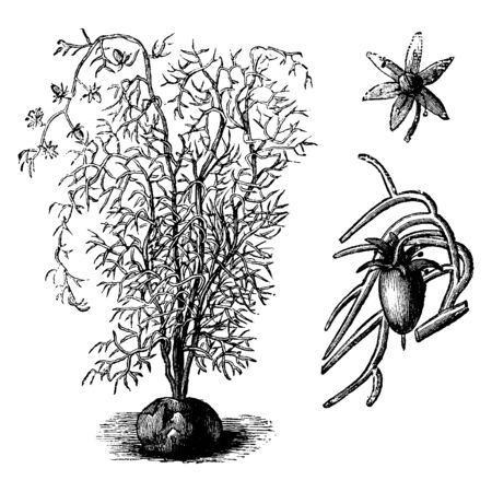 The Bowiea Volubilis leaves are linear Lanceolate, its branches slender long and thick. Flowers are tiny and wheel shape with five petals, vintage line drawing or engraving illustration.