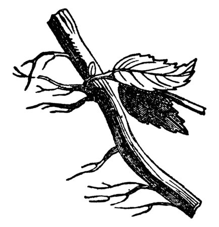 A picture of Creeping root which is a stem of a plant that is usually found underground, often sending out roots and shoots from its nodes, vintage line drawing or engraving illustration.