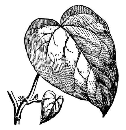 Hedera colchica is a species of ivy which is native to near and Middle East. The leaves are five-lobed juvenile leaves on creeping and climbing stems, and unlobed leaves on fertile flowering stems, vintage line drawing or engraving illustration.