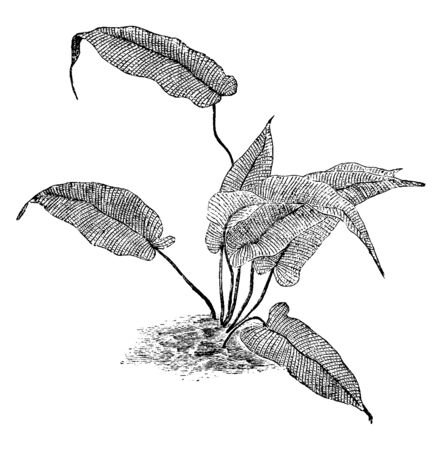 This is Meniscium Simplex plants. Leaves are long, flat, and egg-shaped and it has needle-shaped tip. Sharp hair-lines are present on leaves, vintage line drawing or engraving illustration. Ilustracja