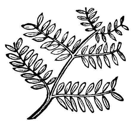The leaves are dense, the bipinnate is compound leaf attach to stem, and pinnate leaf that is both side divided, vintage line drawing or engraving illustration.