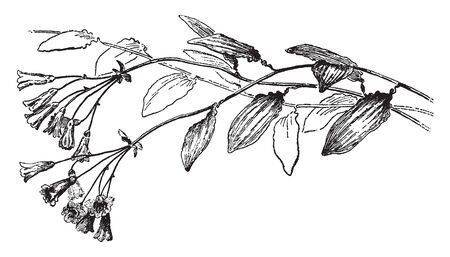 Bomarea Salsilla is flowering plant. Trumpet shaped flowers and ovate shaped leaves hanging on vine, vintage line drawing or engraving illustration. Ilustração