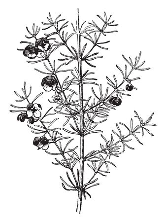 The Boronia Megastigma plant is densely flowers and leaves are spiny hairs. The narrow, linear leaves are arranged on branch and leaves are alternate, vintage line drawing or engraving illustration.