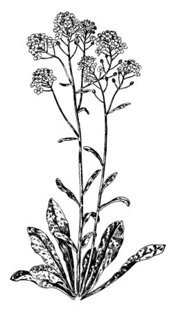 A picture shows Alyssum Saxatile Flowers Plants. Its leaves are narrow, small and dense grower, has small hairs. The flowers, buds are golden yellow and grow high, also called as golden tuft, vintage line drawing or engraving illustration.