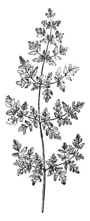 This is small branch Frond of Nothochlaena Nivea Hookeri. Its leaves are small, plain and one-way lobe. Nothochlaena nivea hookeri ferns have dilated segments and leaves attached at the base, vintage line drawing or engraving illustration.