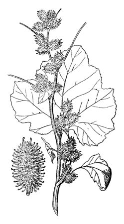 His plant is a summer annual that becomes about 2-4 tall, it is little branched, except for short side stems developing from the leaf axils, vintage line drawing or engraving illustration. Иллюстрация