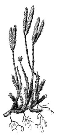 Clubmoss is class of of herbaceous vascular plants and its stem bearing small, scale-like leaves, vintage line drawing or engraving illustration. Imagens - 132895879