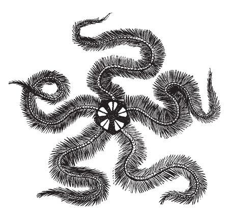 Common brittle star among the several species of Brittle Star found in the British seas is the Common Brittle Star, vintage line drawing or engraving illustration.