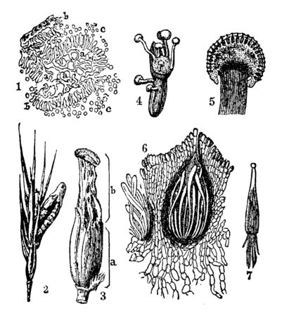 A picture showing different stages of Ergot or ergot fungi which refers to a group of fungi of the genus Claviceps, vintage line drawing or engraving illustration.