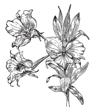A picture is showing Dendrobium Dearei. It is a species of orchid of the genus Dendrobium. It is found in the Borneo and the Philippines. It has white flowers that are about two inches wide, vintage line drawing or engraving illustration.