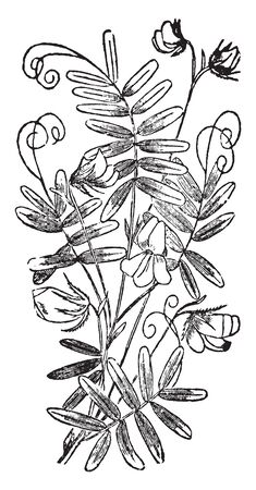 It has many hairy branches and its stem is slender and leaflets in 5 to 8 pairs. The flowers are small, white, pink, purple, or pale blue in color, vintage line drawing or engraving illustration.
