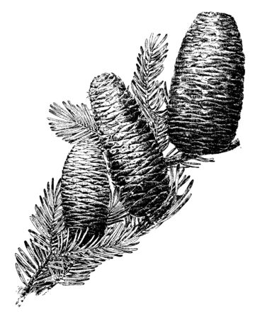 Abies is a type of Cone called as Abies, mostly found in North Africa, occurring in mountains over most of the range, vintage line drawing or engraving illustration.