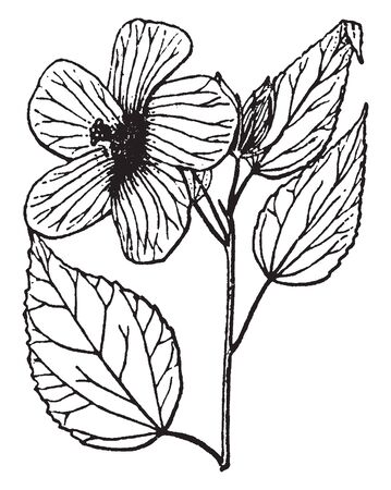 Picture is showing the Hibiscus plant. It is showing its leaves and flowering part. Flower consists of five to six petals. Leaves are large in size, vintage line drawing or engraving illustration.