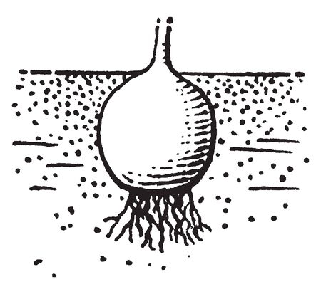 Corm is underground stem base bearing buds and acting as a vegetative reproductive structure, vintage line drawing or engraving illustration.