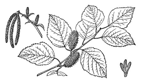 It is a Branch of River Birch is also known as a Betula Nigra & found at United States, vintage line drawing or engraving illustration.
