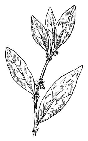 This is an image of Erect Knotweed. The leaves are simple and the edge of the leaf blade is entire, vintage line drawing or engraving illustration.