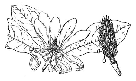 A picture showing branch of Fraser Magnolia tree. The large, simple, tropical-looking leaves have auriculate (earlobe-shaped) bases, vintage line drawing or engraving illustration. Ilustrace