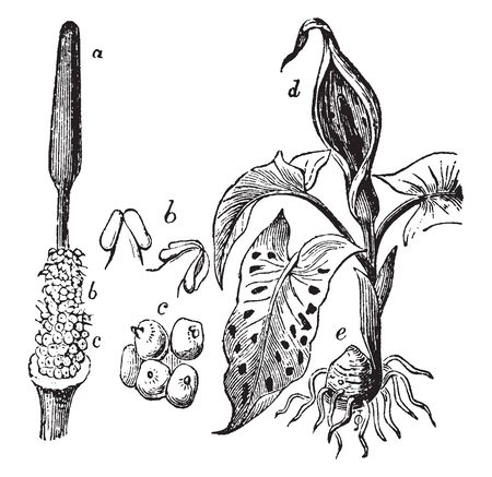 This picture shows Araceae plant part. The part a shows spadix, Part b shows stamens or male flowers, Part c shows ovaries, part d shows spathe, vintage line drawing or engraving illustration.