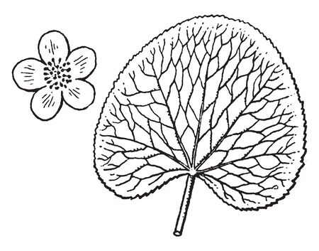 This is a picture of Caltha. Its leaves are heart-shaped or kidney-shaped and flowers are star shaped having yellow to white color, vintage line drawing or engraving illustration.