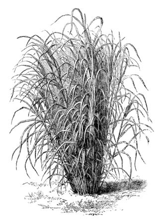 A picture of Saccharum Aegyptiacum and the branches grow up to 12 inches in length, vintage line drawing or engraving illustration. 向量圖像