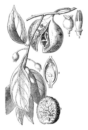 Nutmeg  fruit is a tough, yellowish, one seeded fruit known as drupe about 2 cm in diameter. When mature it splits in two, exposing a crimson-coloured aril, the mace, surrounding a brown nutmeg seed, vintage line drawing or engraving illustration. Ilustração
