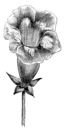 A picture, thats showing Erect Flowered Gloxinia, also known as Canterbury bells. It belongs to Gesneriaceae family. Flowers are bell-shaped and purple, vintage line drawing or engraving illustration. Ilustração