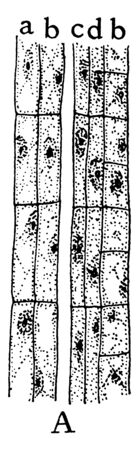 A picture showing the first stage of development of the sieve tubes, the accompanying cells and the phloem parenchyma, vintage line drawing or engraving illustration. Standard-Bild - 132884022