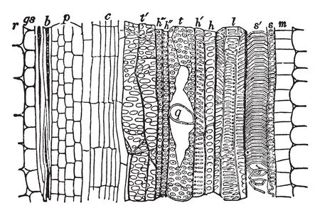 A picture showing the longitudinal section of an open fibro-Vascular bundle, vintage line drawing or engraving illustration.