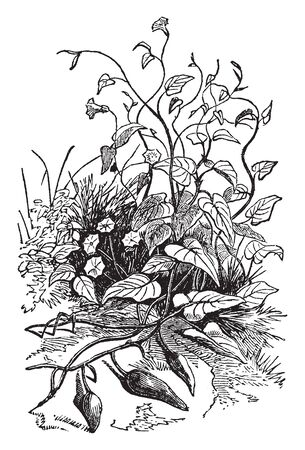 The Batata tree has spreading on ground level, the Batata tree increases like a vine, heart shaped leaves and also some tubers have grow, vintage line drawing or engraving illustration. Illustration