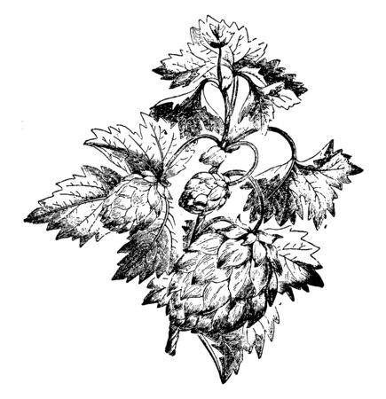 The image shows a Hop plant also known as Humulus. The hop is part of the Cannabaceae family. In addition to adding flavor to beer, hops are also used in brewing for their antibacterial effect, vintage line drawing or engraving illustration.