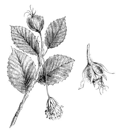 A picture is showing Branchlet of Fagus Sylvatica with Male and Female Flowers. Fagus Sylvatica is commonly known as Common Beech and it belongs to Beech family Fagaceae, vintage line drawing or engraving illustration.